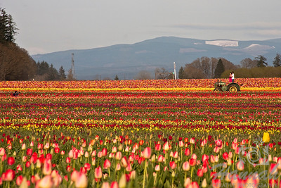 Tulip fields with a couple posing on a tractor and a photographer at the distance. Taken at Wooden Shoe Tulip Farm in Woodburn, OR   © Copyright Hannah Pastrana Prieto