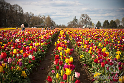 Rows of colorful tulips at a tulip farm. Taken at Wooden Shoe Tulip Farm in Woodburn, OR  © Copyright Hannah Pastrana Prieto