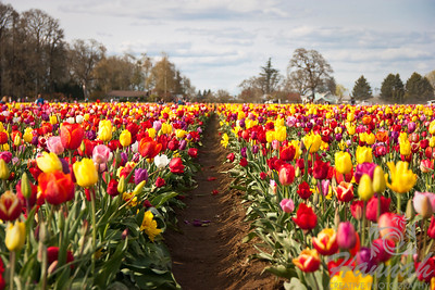 Two rows of colorful tulips at a tulip farm. Taken at Wooden Shoe Tulip Farm in Woodburn, OR   © Copyright Hannah Pastrana Prieto