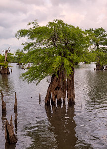 Unusual cypress with fishing line