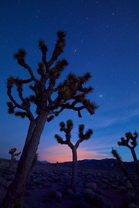 Twilight among the Joshua trees, Lee Flats. Death Valley.