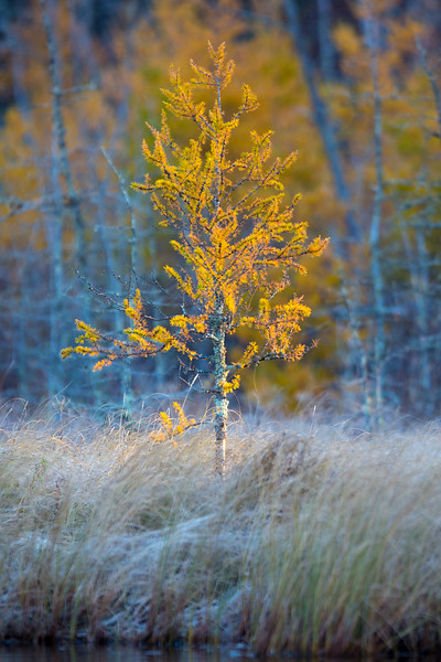 GOLDEN TAMARACK