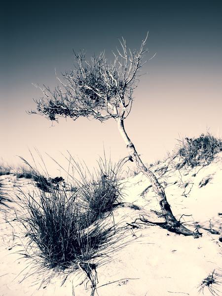 Leaning Dune Tree