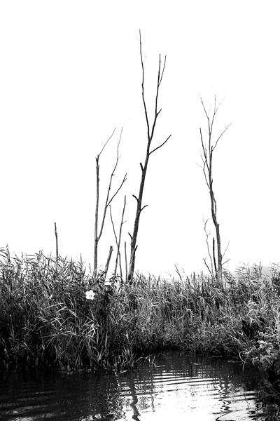 Fogged in Marsh Trees