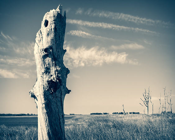 Old Marsh Tree, Selective Color