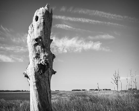 Old Marsh Tree, BnW
