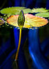 Water lily with Chihuly Glass reflections