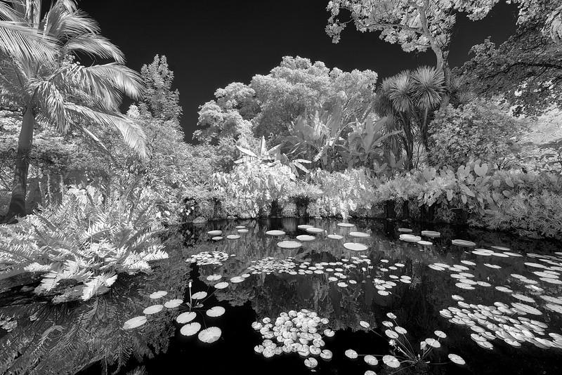 Sibley Victoria Amazonia