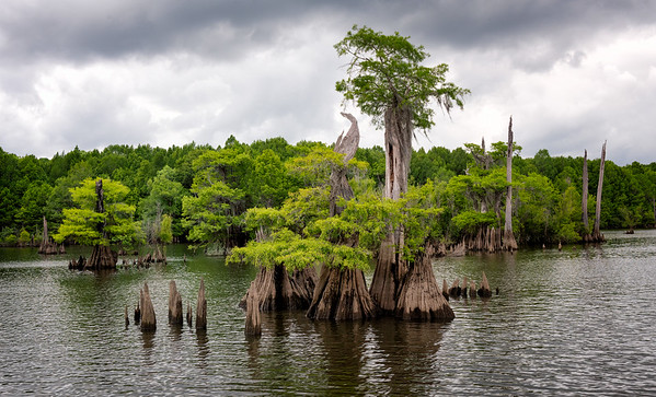 Cypress stand in the Dead Lakes