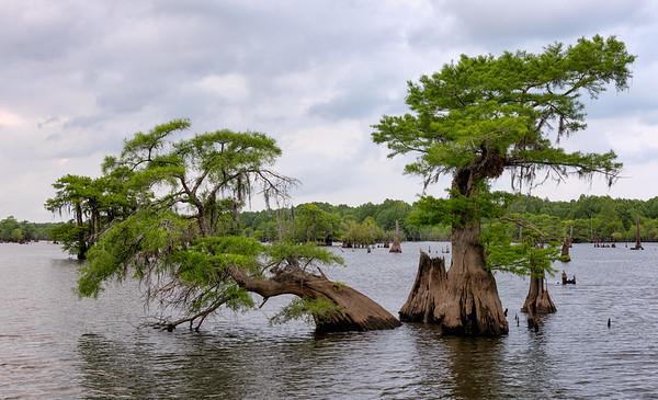 Dancing cypresses