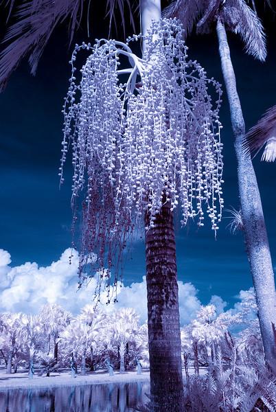 infrared black and white<br /> Fairchild Tropical Botanic Garden