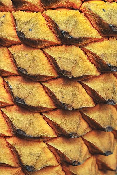 Detail: pine cone<br /> Fairchild Tropical Garden<br /> Coral Gables, Florida<br /> <br /> Nikon D3<br /> Tamron 90 mm macro lens