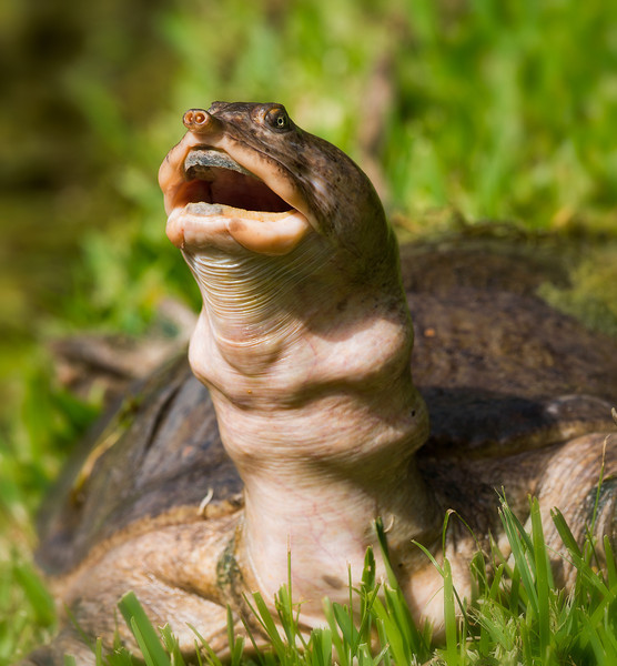 Dear Mr/Ms Turtle: what can we say about those dentures?