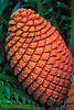 A mother of a pine cone<br /> Fairchild Tropical Garden<br /> Coral Gables, Florida<br /> <br /> Nikon D3<br /> Tamron 90 mm macro lens