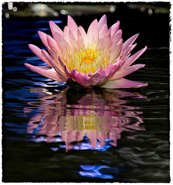 Water Lily