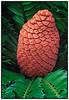 Pine Cone<br /> Fairchild Tropical Garden<br /> Coral Gables, Florida<br /> <br /> Nikon D3<br /> Tamron 90 mm macro lens