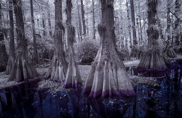 Inky blue water, staining big cypress trees under the Dome.