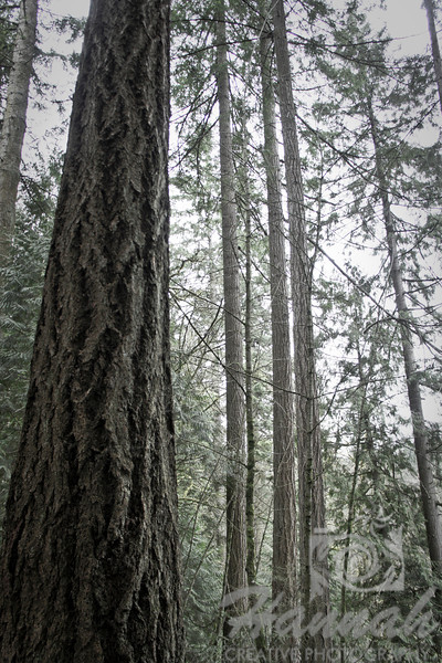 Image of tall trees at Forest Park in Portland, Oregon  © Copyright Hannah Pastrana Prieto