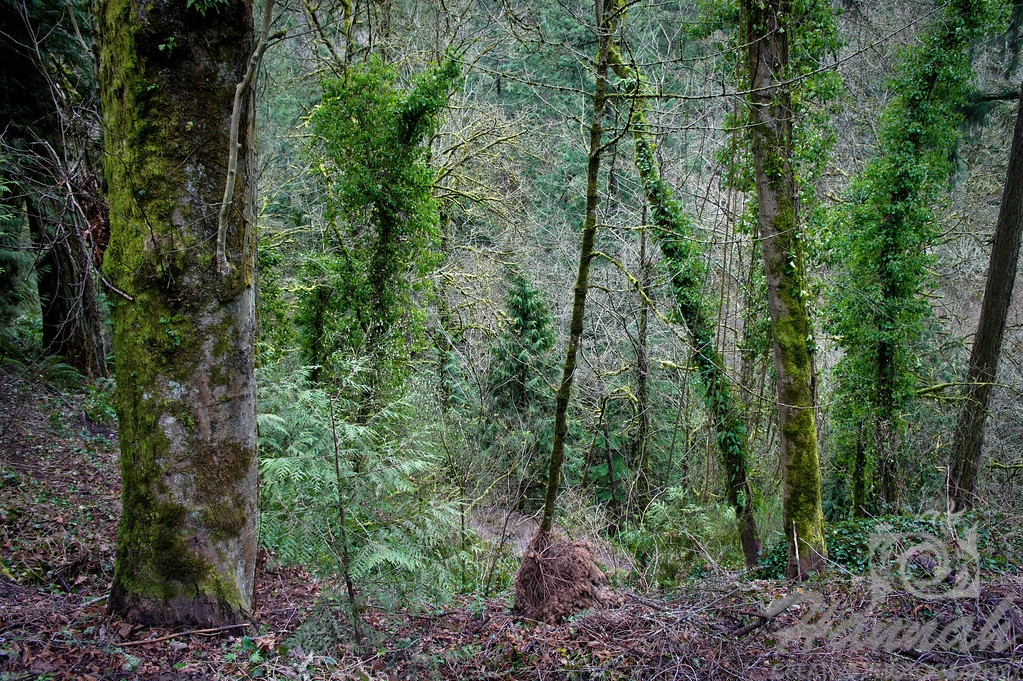 Trees covered in moss at Forest Park in Portland, Oregon  © Copyright Hannah Pastrana Prieto