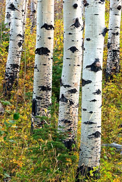 Aspen grove<br /> Two Medicine Area
