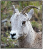 Portrait of a bighorn sheep