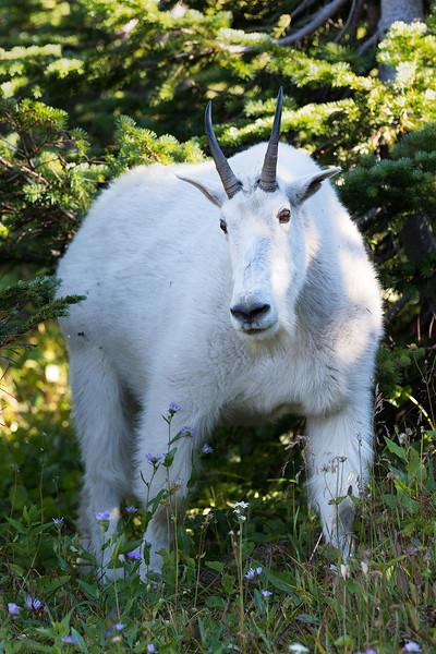 mountain-goat_logan-pass_D046719 tif