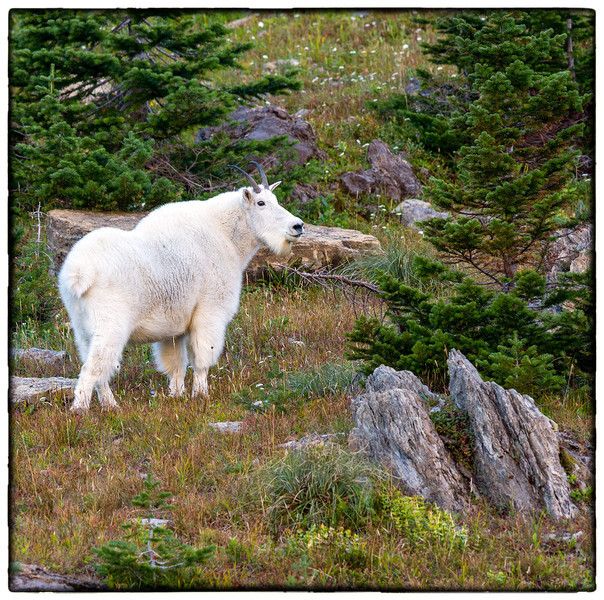 Adult mountain goat<br /> Logan Pass