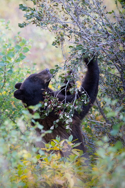 Bear eating berries in anticipation of hibernating soon.