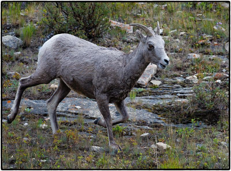 bighorn sheep on the run
