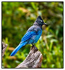 Steller's Jay<br /> Avalanche Lake