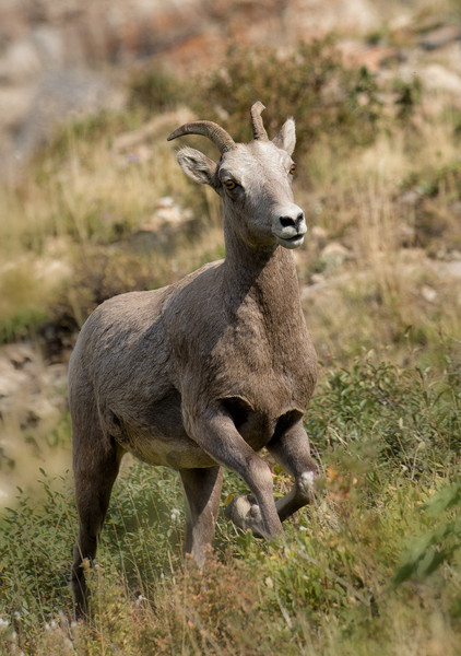 Bighorn sheep on the run
