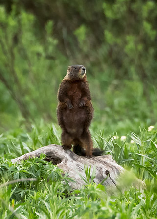 Marmot on the lookout