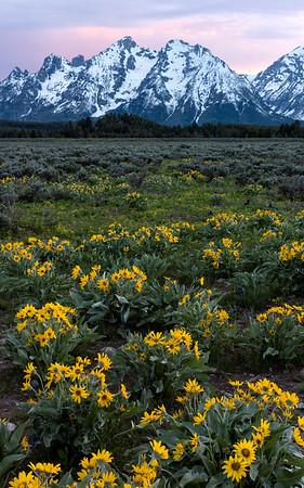 Wildflowers, sunrise & the Teton Range