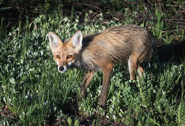 Red Fox assessing another animal: friend or foe?