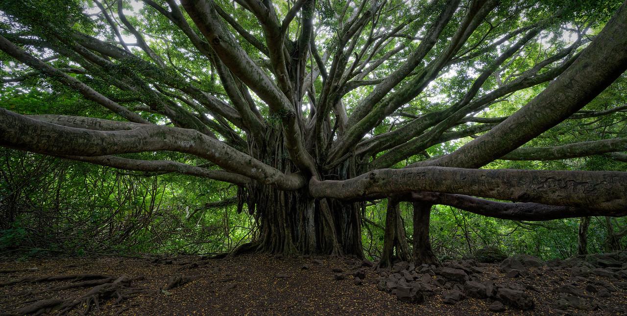 """Banyan Tree Panorama"""
