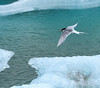 Arctic Tern and meal