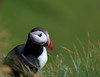 """Puffin Portrait"""
