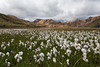 """Alpine Cotton""<br /> <br /> The highlands of Landmannalaugar, Iceland."