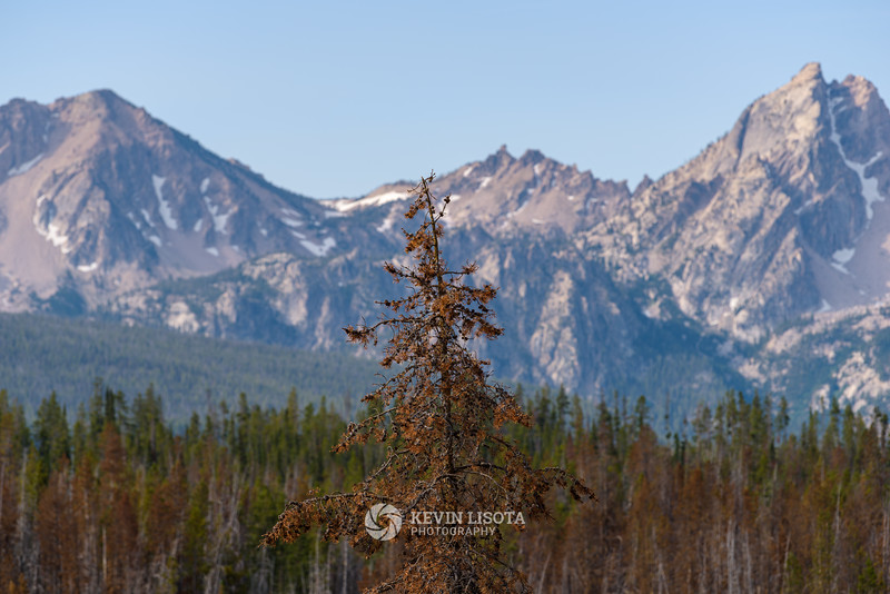 Tree burned by wild fires in front of Idaho's Sawtooth Mountains