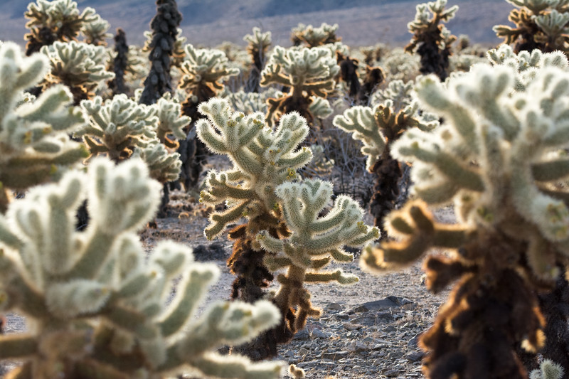 GLOWING CHOLLA