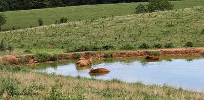 Three Cows In A Pond