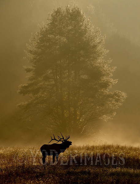 North American Elk (Cervus elaphus)<br /> Second Plase, Professional Division, 2012 Wilderness Wildlife Week Photo Contest<br /> Judges Choice, 2012 Wilderness Wildlife Week Photo Contest