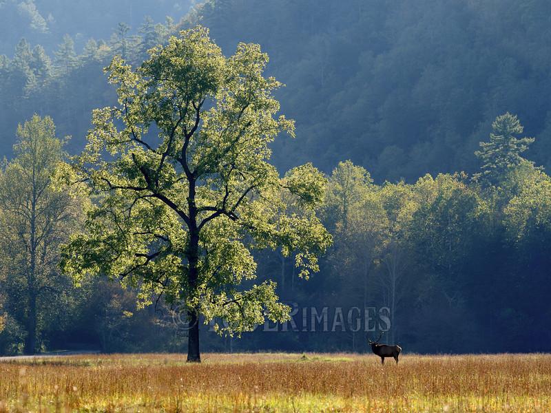 North American Elk (Cervus elaphus)