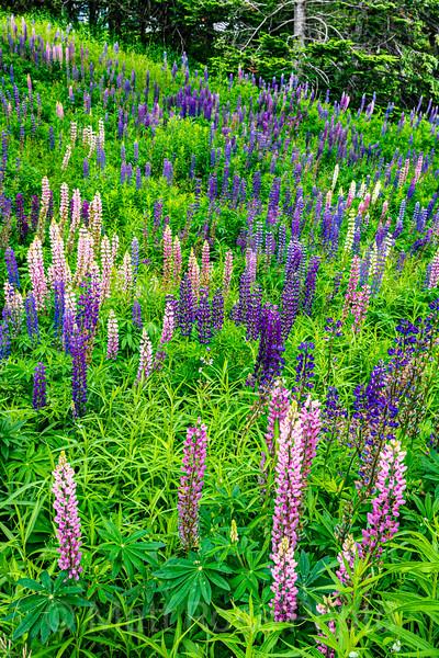 LUPINE FOREST, NOVA SCOTIA