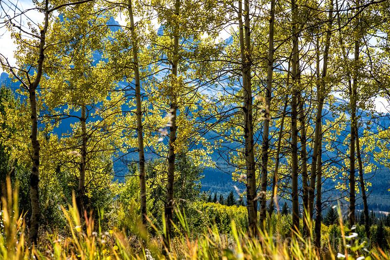 ASPEN TREES, CANMORE, ALBERTA