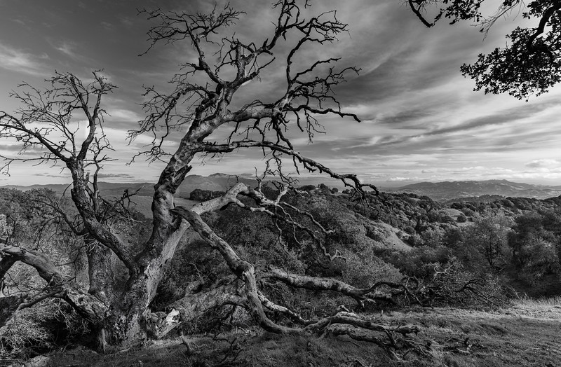 OLD SNAG BRIONES (MT. DIABLO IN VIEW)