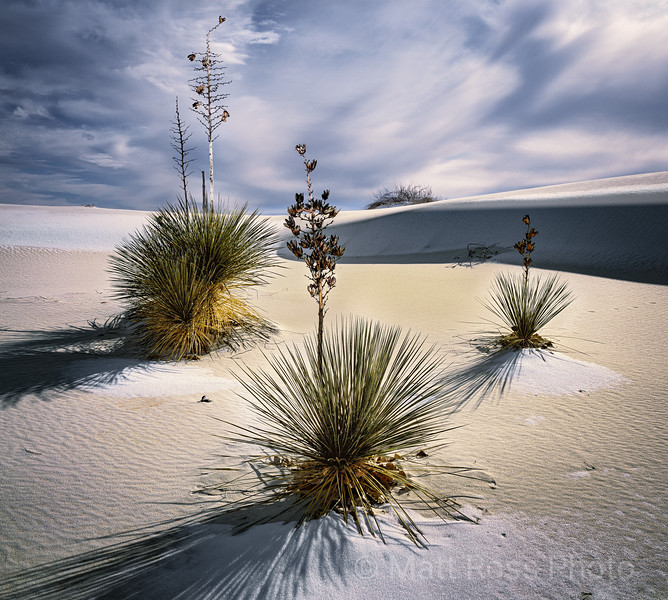 THREE YUCCAS, SNOW ON DUNES; WHITE SANDS NEW MEXICO