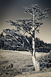A monochrome shot of a single tree at Ecola State Park Cannon Beach, Oregon Coast  © Copyright Hannah Pastrana Prieto