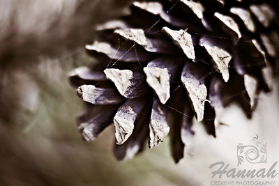 Close-up of a pine cone with spiderweb  © Copyright Hannah Pastrana Prieto