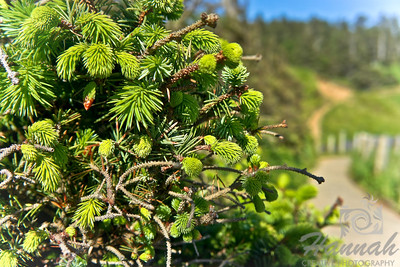 Close-up of a pine tree with a hiking trail at the background Shot at Ecola State Park, Cannon Beach, OR  © Copyright Hannah Pastrana Prieto